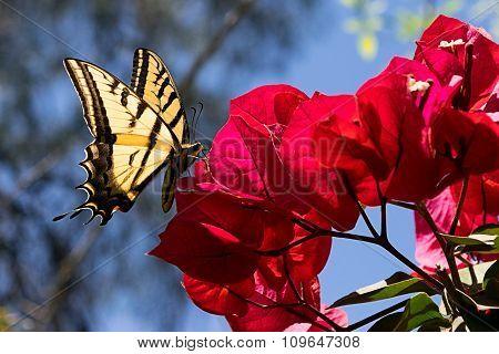 Butterfly on Bouganvillea