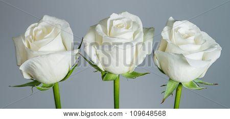Closeup Beautiful White Rose On A Gray Background