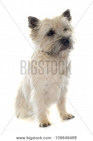 Purebred Cairn Terrier
