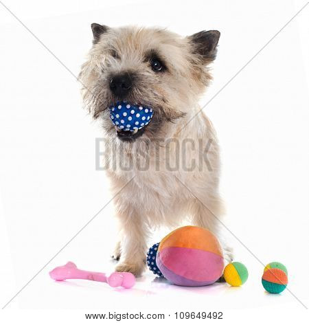 Playing Cairn Terrier