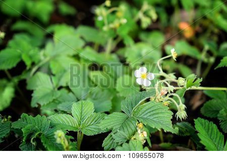 White Flower  Of Strawberry In Spring, Shallow Depth Of Field