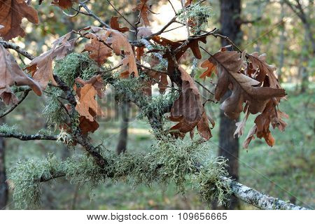 Oak branch with leaves and brown in nature