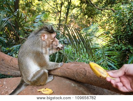 Gray Monkey Eats Banana