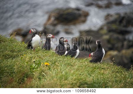 Colony Of Icelandic Puffins At Remote Islands, Iceland, Summer Time