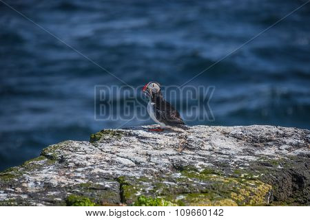 Icelandic Puffin With Fish In Its Beak At Remote Islands, Iceland