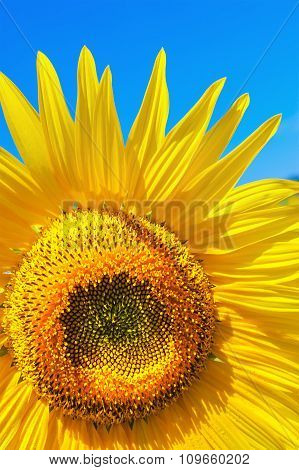 Yellow Sunflower On A Bright Blue Sky