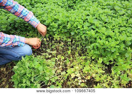 woman gardener picking green mints  at vegetable garden