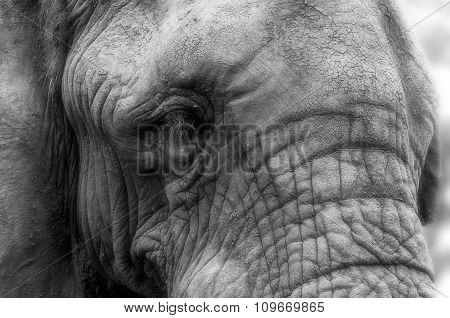 Close-up Portrait Of The Face Of An African Elephant - Black And White