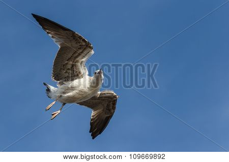 Seagull flying and looking into camera