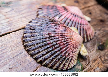 Wet scallop shells on wooden background