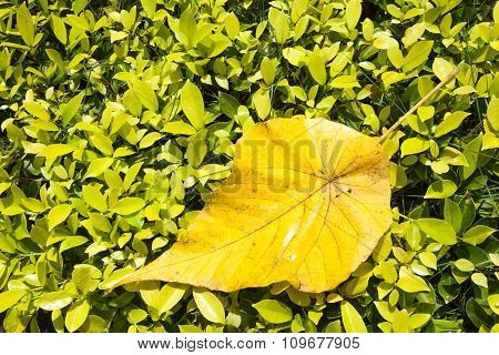 Large Light Yellow Leaf Lies On Top Of The Small Light Green Leafs.