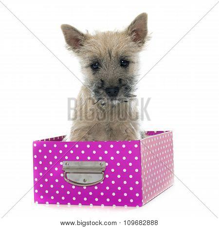 Puppy Cairn Terrier