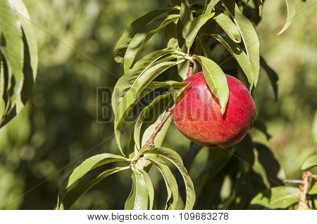 Small Red Peach