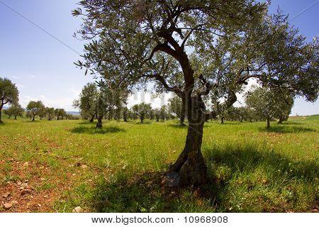 Field Cultivation Of Olives, Balsamic Vinegar