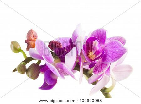 Two violet orchids
