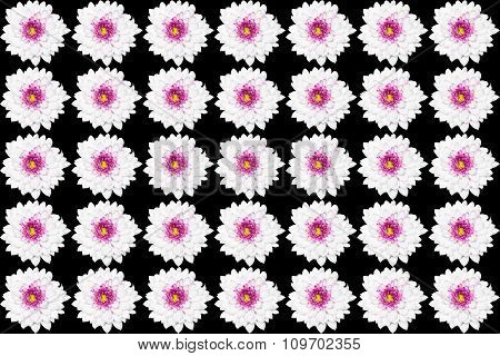 White Chrysanthemum Flower With Yellow Center Isolated On Black Background