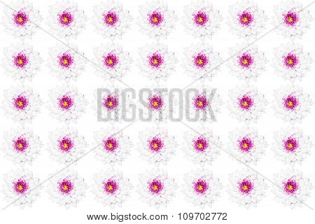 White Chrysanthemum Flower With Yellow Center Isolated On White Background