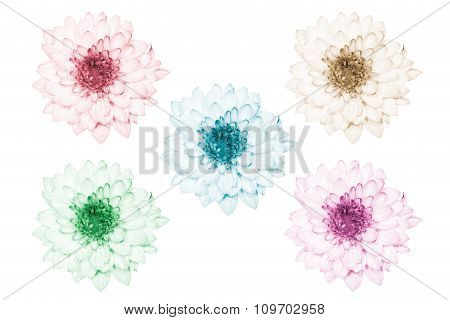 Colorful  Chrysanthemum Flower Isolated On White Background