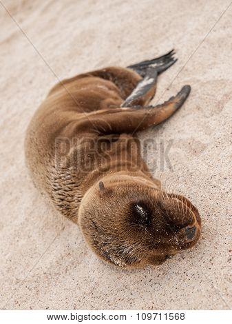 Sleeping Baby Sealion