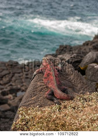 Red And Green Iguana