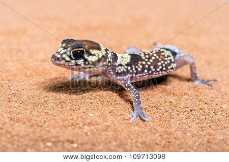 Australian Barking Gecko (Underwoodisaurus Milii)