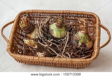 Bulbous Tubers Hippeastrum (amaryllis)   On A Basket