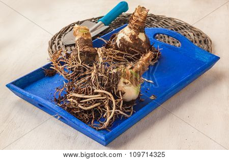 Bulbous Tubers Hippeastrum (amaryllis)   On A Tray