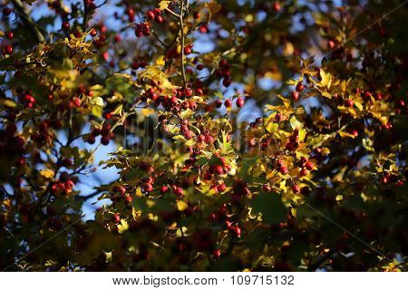Yellow Bushes With Red Berries