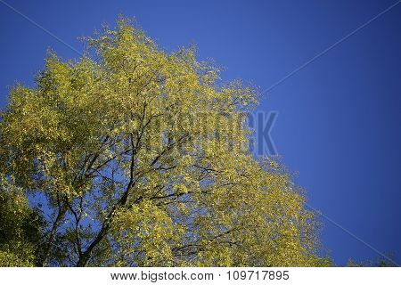 Tops Of Golden-leaved Trees