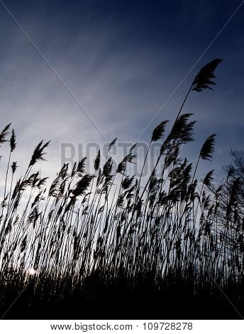 Windy Reeds At Sunset