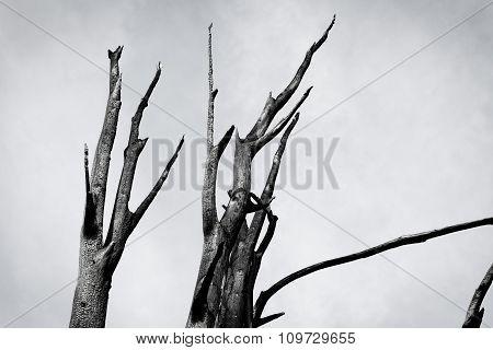 Burnt Tree Against The Sky