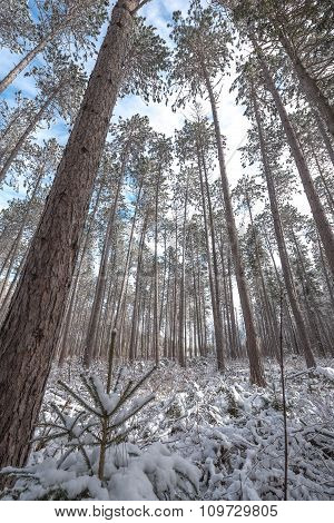 view through a stand of tall pines.