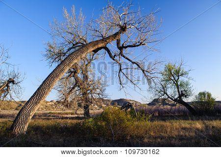 Gnarled Trees Of  Dinosaur Provincial Park