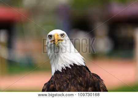 Bald Eagle Closeup -bokeh background