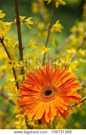 Orange Gerbera On A Background Of Blooming Forsythia Branches