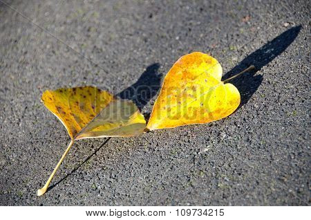 A Couple Of Poplar  Yellow Leaves On Asphalt Trail