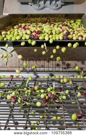 Olive cleaning