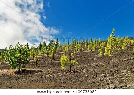 pine grove in Teide National Park, Tenerife, Canary Islands, Spain