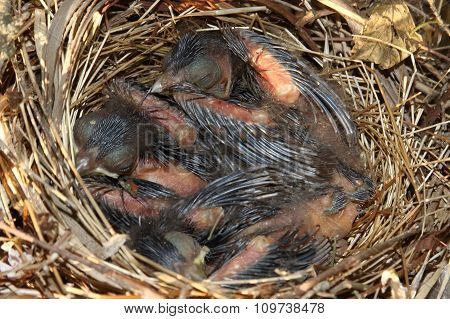 Baby Northern Cardinals