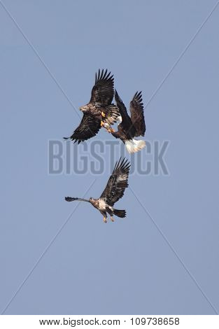 Adult Bald Eagles (haliaeetus Leucocephalus)