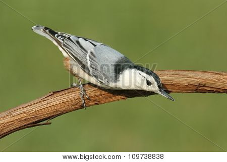 Nuthatch On A Branch