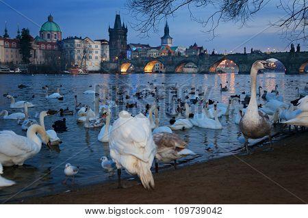 Sunset view of swans in Vltava river, Prague, Czech Republic