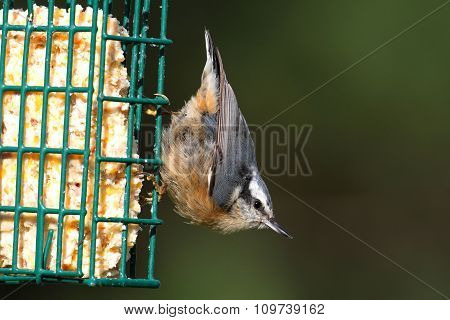 Red-breasted Nuthatch On A Feeder