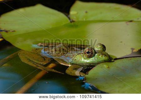 American bullfrog floating among lily pads