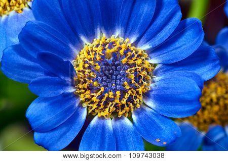 Senecio - blue flowers decorative