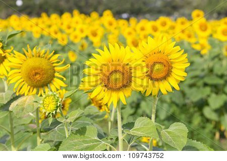 Sunflowers In The Farm With Bee