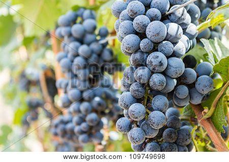 Grape Farm, Ripe Dark Grapes With Leaves.