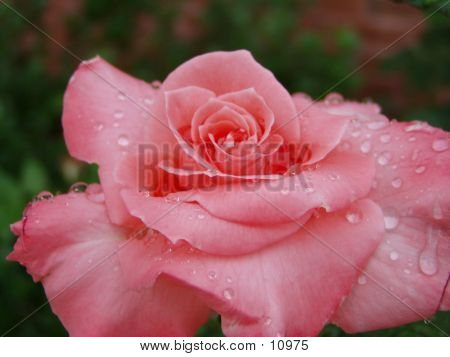 Pink Tea Rose With Dew Drops