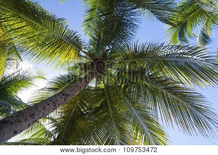 Underneath Coconut Palm