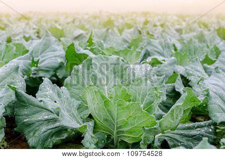 Cabbage Field At Phu Thap Boek, Phetchabun, Thailand